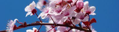 fleurs roses qui symbolisent le bonheur
